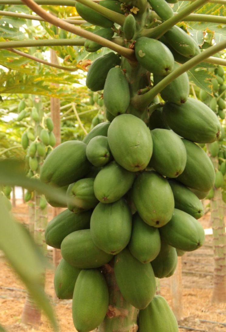 tropical millenium – papaya – papaye